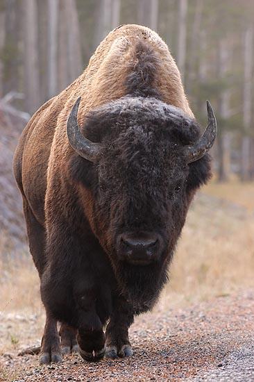 Amerikanische Bison (Bison bison)