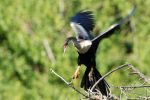 Anhinga photography