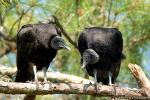 Black vulture photography