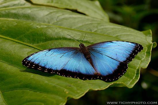 Blue Morpho (Morpho peleides limpida)