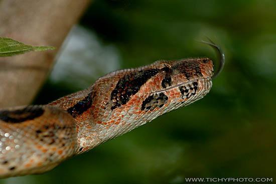 Boa Constrictor (Boa constrictor)
