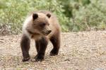 Brown bear, Grizzly photography