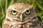 Burrowing owl photography