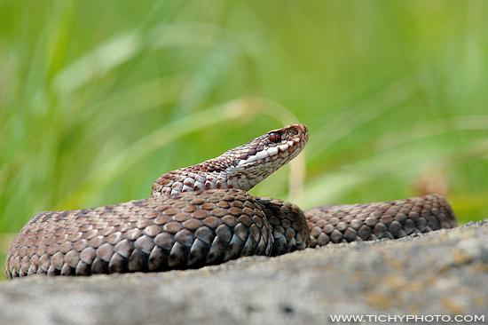 Common Adder (Vipera berus)