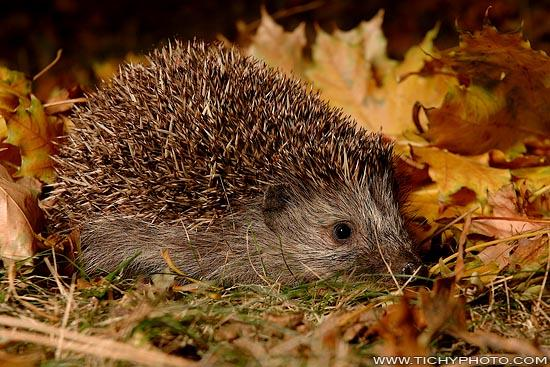 Eastern European Hedgehog (Erinaceus concolor)