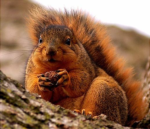 Eastern Fox Squirrel (Sciurus niger)