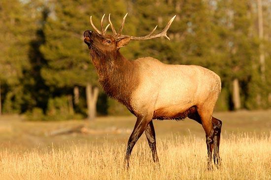 Elk (Cervus elaphus canadensis)