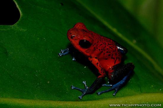 Erdbeerfröschchen (Dendrobates pumilio)