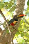 Fiery-billed Aracari photography