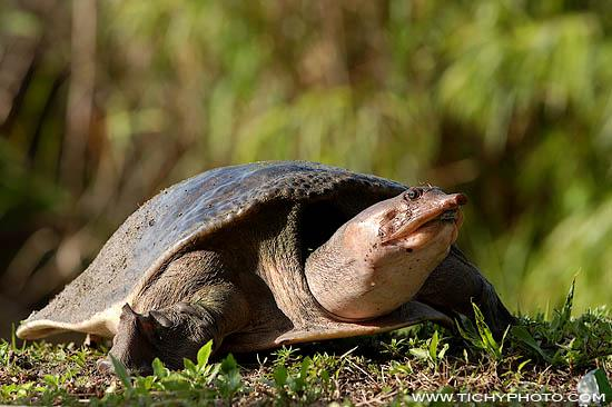 Florida-Weichschildkröte (Trionyx ferox)