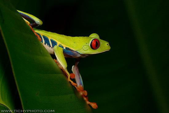 Gaudy Leaf Frog (Agalychnis callidryas)