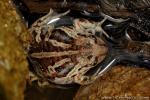 Knoblauchkröte photographie