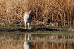 Kojot fotografie