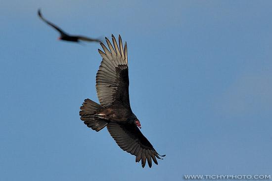 Kondor krocanovitý (Cathartes aura)