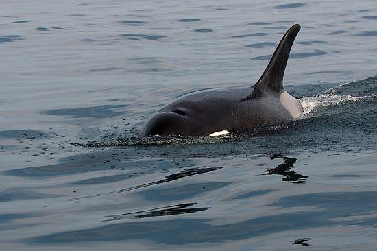 Kosatka dravá (Orcinus orca)