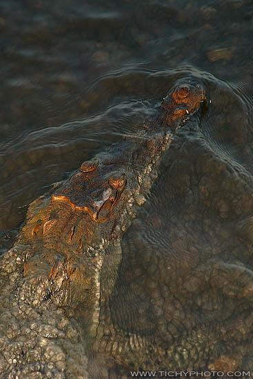 Krokodile (Crocodylus acutus)