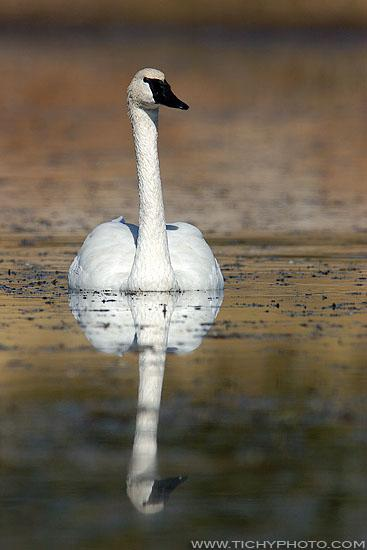 Labuť trubač (Cygnus buccinator)