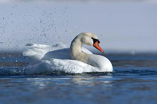 Labuť velká (Cygnus olor)