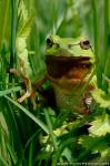 Tree Frog photography