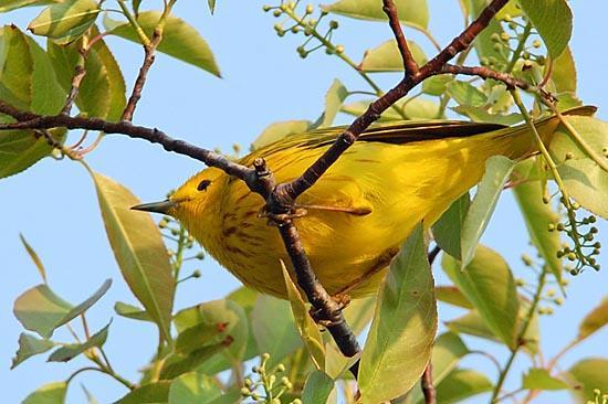 Lesňáček žlutý (Dendroica petechia)