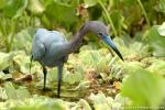 Little blue heron photography