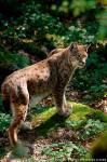 Lynx photography