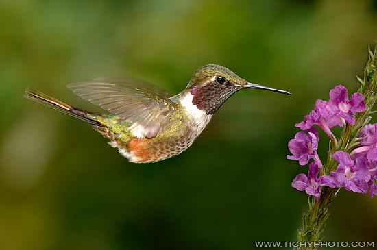 Magenta-throated Woodstar (Calliphlox bryantae)