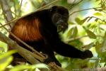 Mantled Howler Monkey photography