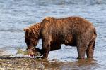Medvěd hnědý fotografie