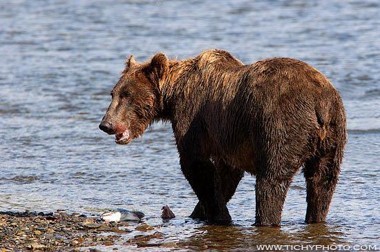 Medvěd hnědý (Ursus arctos)