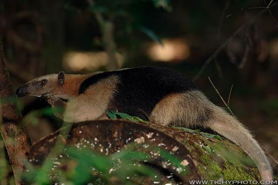 Mravenečník mexický (Tamandua mexicana)