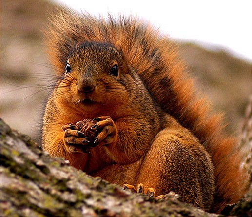 Northern Fox Squirrel (Sciurus niger)