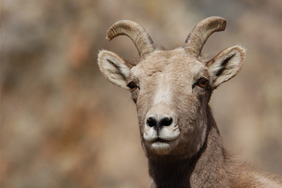 Ovce tlustorohá (Ovis Canadensis)