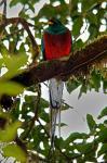 Resplendent Quetzal photography