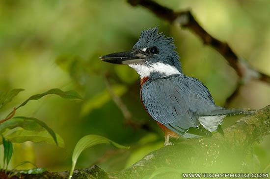 Ringed kingfisher (Ceryle torquata)