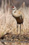 Sandhill crane photography