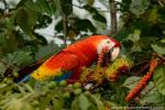 Scarlet Macaw photography