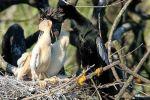 Schlangenhalsvogel photographie