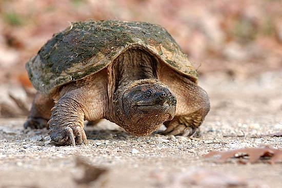 Schnappschildkröte (Chelydra serpentina)