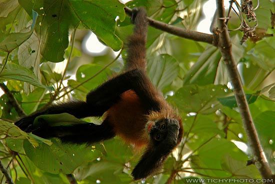 Spyder Monkey (Ateles geoffroyi)