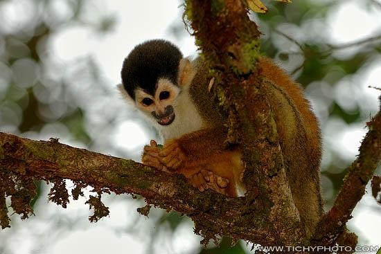Squirrel Monkey (Saimiri oerstedii)