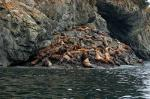 Steller Sea Lion photography