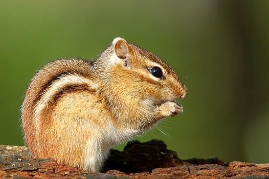 Streifenhörnchen (Tamias striatus)