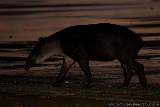 Tapír středoamerický (Tapirus bairdii)