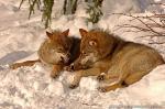 Vlk obecný fotografie