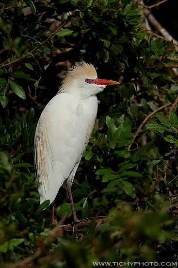 Volavka rusohlavá (Bubulcus ibis)