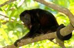Mantled Howler Monkey photography