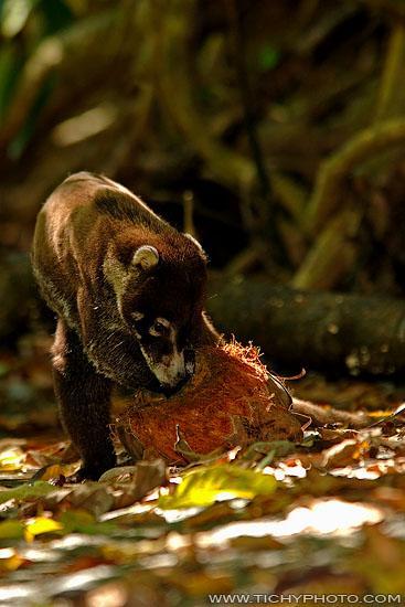 Weissrüsselbär (Nasua narica)