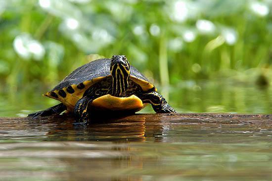 Zierschildkröte (Chrysemys picta)